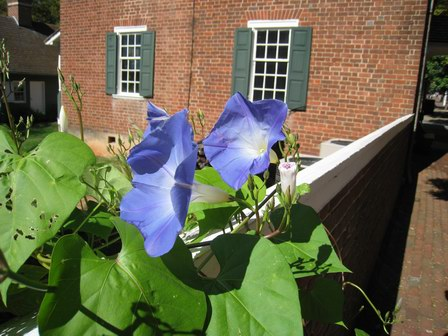 Beautiful Flower in Old Salem