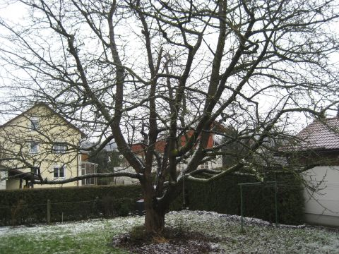 Snow-covered Cherry Tree in Our Garden